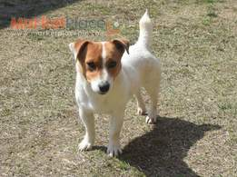 Shorty Jack Russell Terrier Puppies